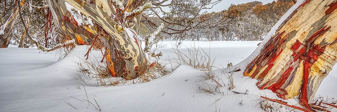 Back Country - Snow Gums Dinner Plain