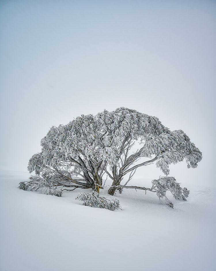 Chilled - Snow Gum Mount Hotham