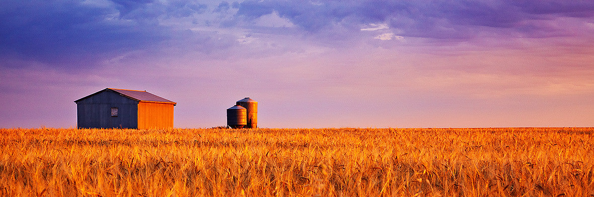 Golden Wheat photograph South Australia