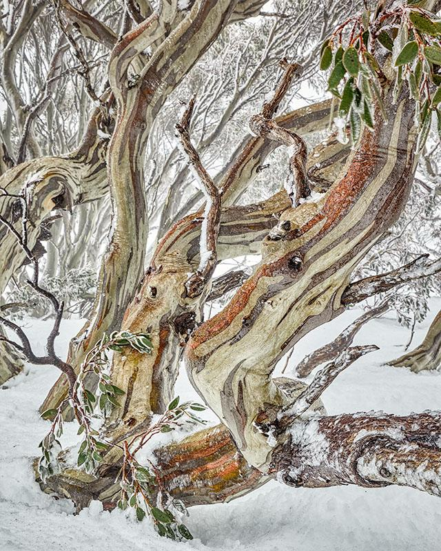 Defiance - Snow Gums, Kosciuszko National Park