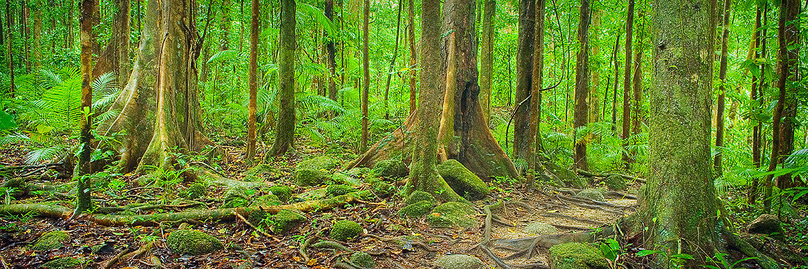 Forest Pathway Daintree National Park Queensland