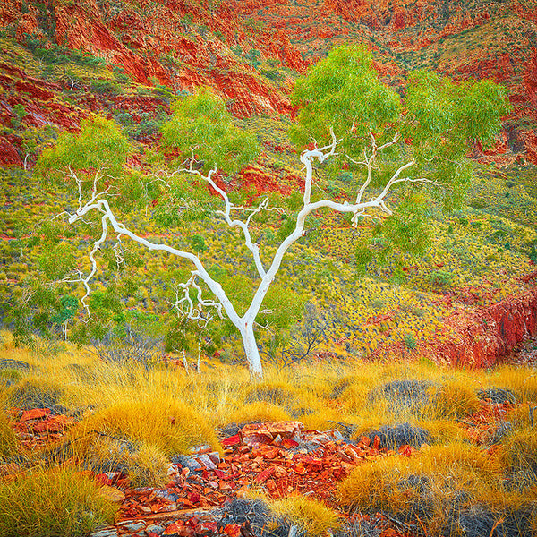 Ghost Gum - West MacDonnell Ranges Northern Territory