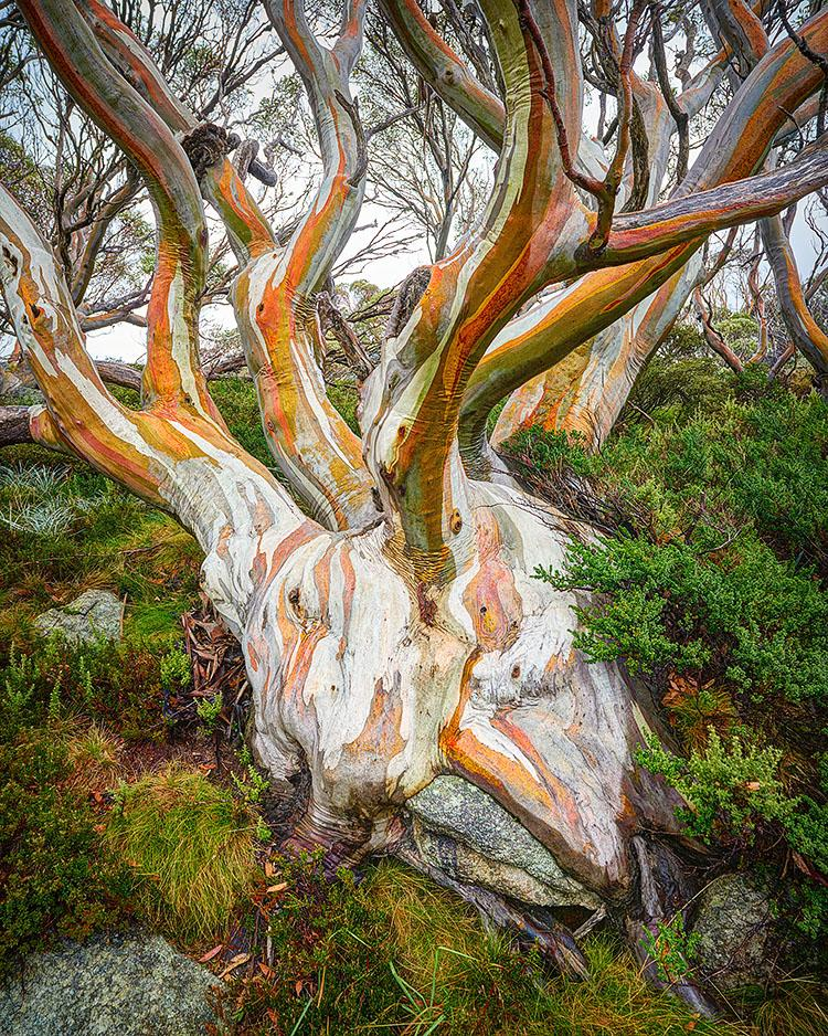 Heart Of The Alps - Snow Gum in Kosciuszko National Park