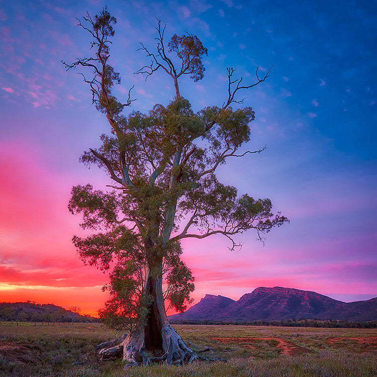 Cazneaux Tree Flinders Ranges South Australia