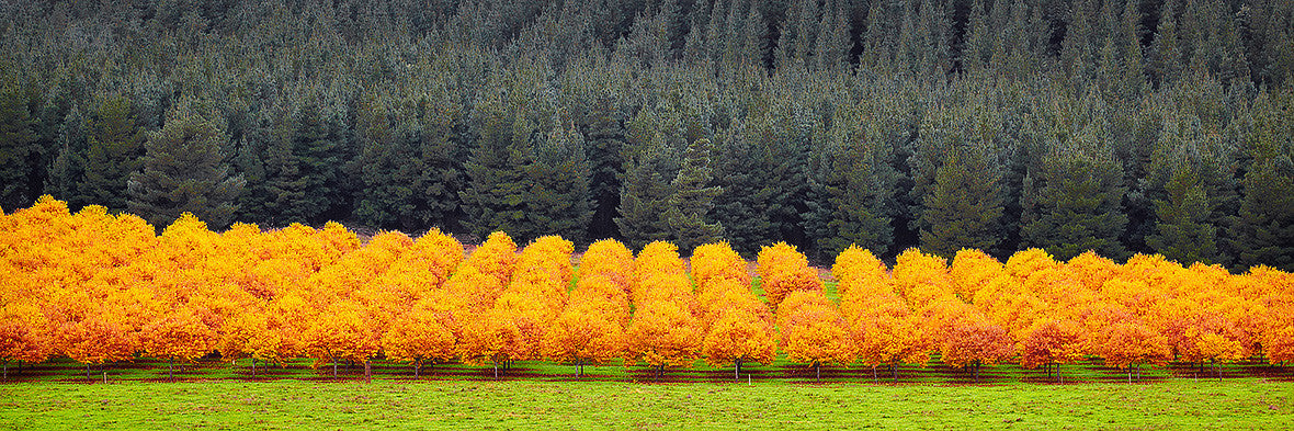 Orange Rows Of Trees