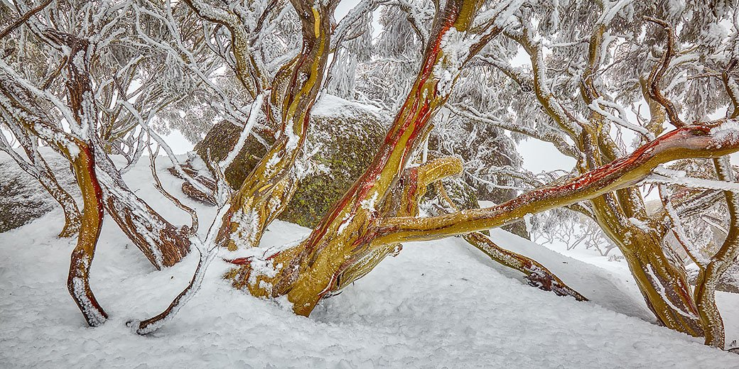 Amongst The Snow Gums - Ramshead Range