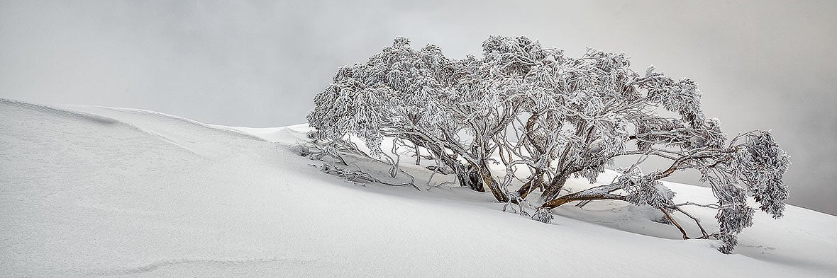 Snow Solitude - Award winning photograph of snow gums in snow
