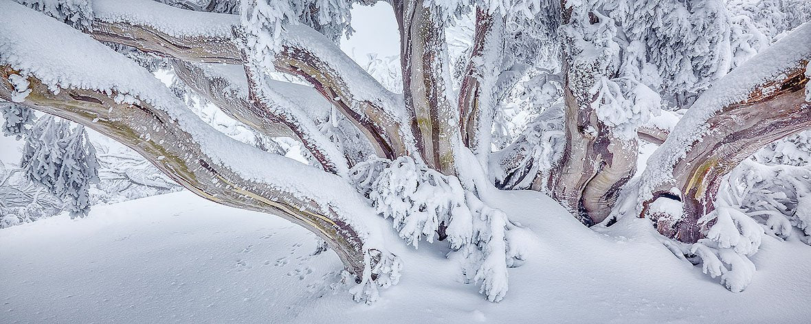 So Fresh, Snow Gum covered in fresh snow at Mt Feathertop, Victoria
