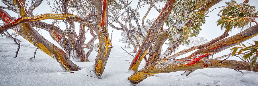 Wild - Snow gum on Mount Hotham