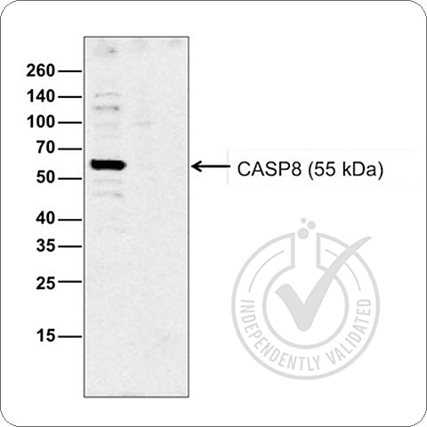 bs-0052R Caspase 8