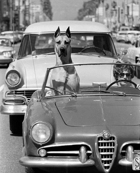 A Great Dane riding shotgun in a sports car. Hollywood, California 1961.