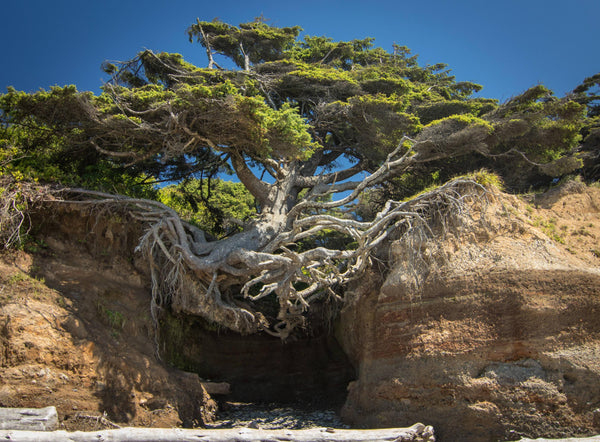 Tree of life, Tree Root Cave, Kalaloch Tree, Olympic National Forest