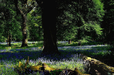 Fairytale Kingdom - Bluebells In Killarney National Park - Michael Prior Photography