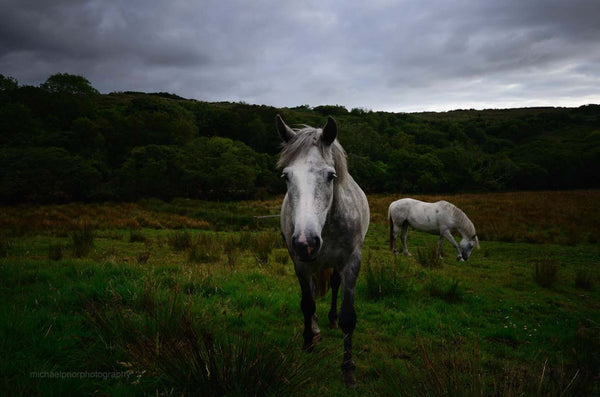 Connemara Ponies - Michael Prior Photography