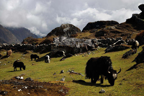 Field Of Yaks - The Himalayas - Michael Prior Photography