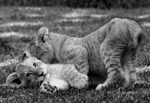 Lion Cubs Playing - Michael Prior Photography