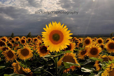 Field Of Sunflowers - Michael Prior Photography