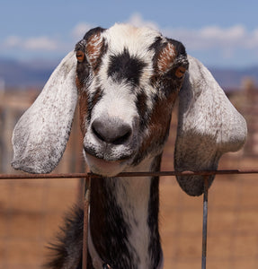 Annie, our long-time herd queen. She was our first goat.