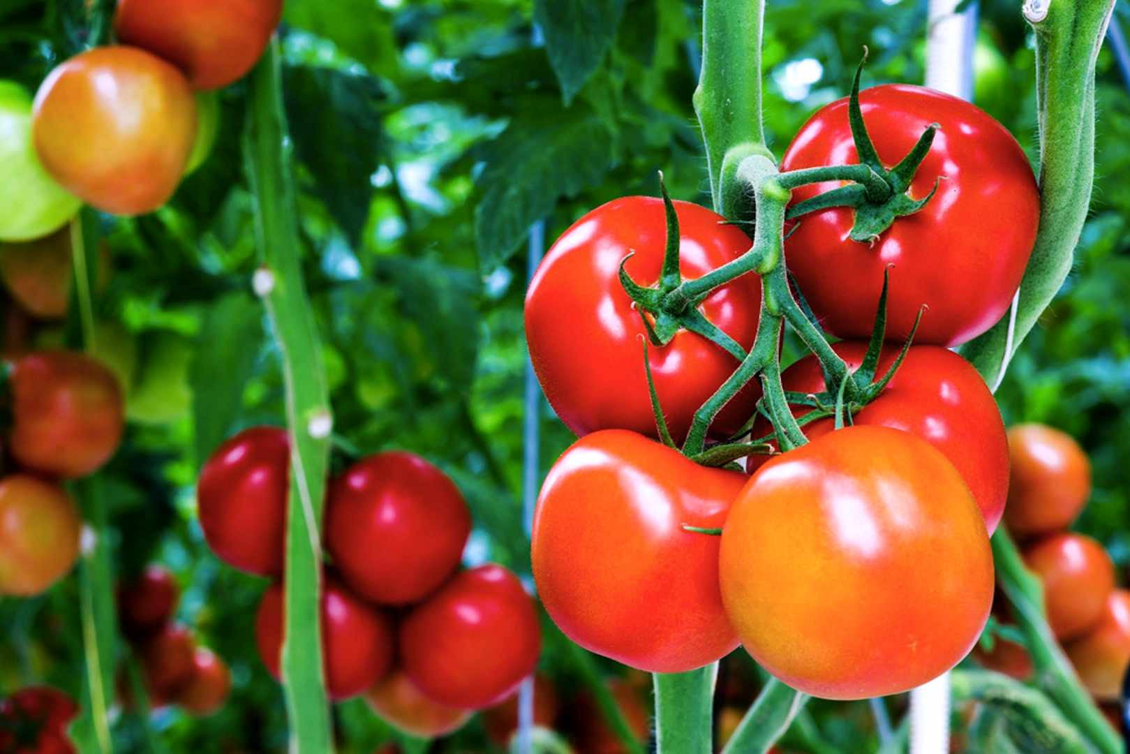 Nutrients for hydroponic tomatoes