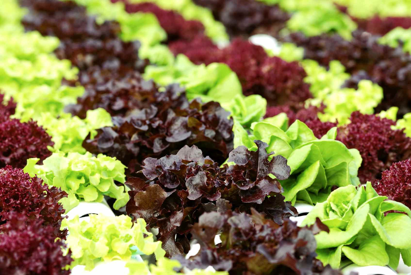 Nutrients for hydroponic lettuce