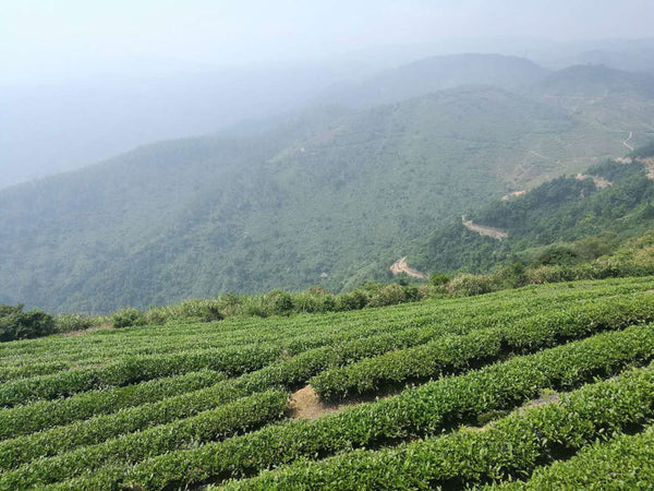tea in the china mountains