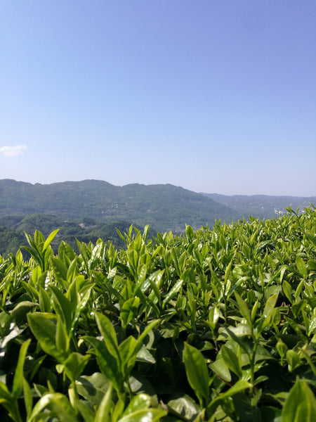 tea leaves field in china