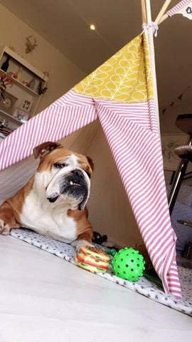 Teepee tent with bulldog inside