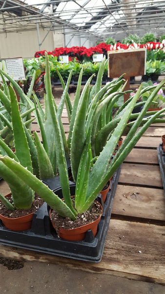 Tropical House Plant - Aloe Vera