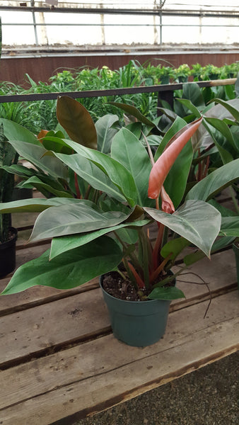 Tropical House Plant - Red Beauty Philodendron