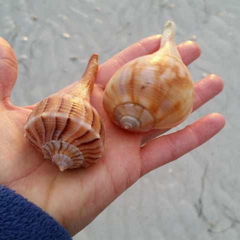 Lightning whelk and pear whelk shells at Lighthouse Beach