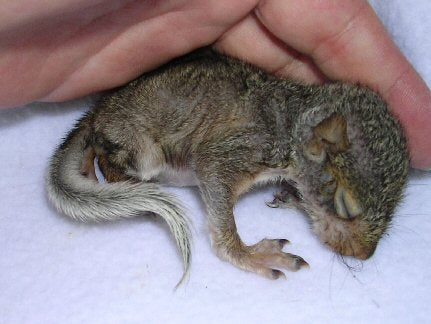 Basic Steps To Taking Care Of A Baby Squirrel Chris S Squirrels And More