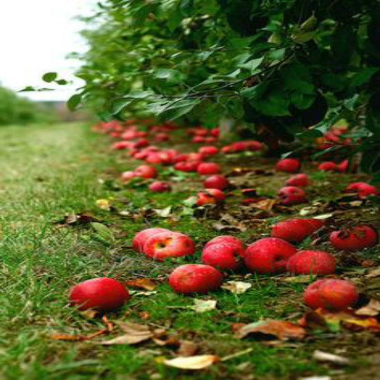 Barefoot in the Apple Orchard - Wax Melts