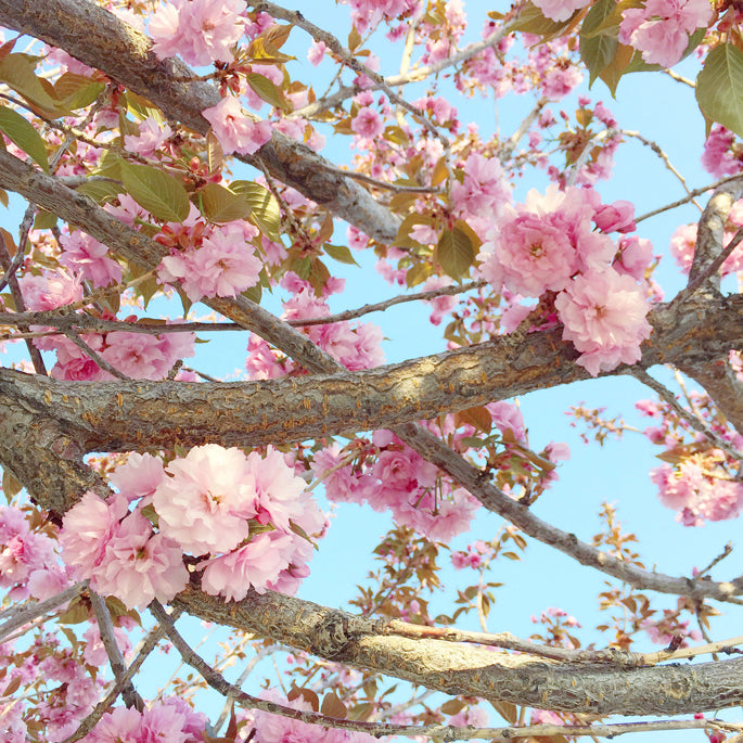 pink-blossoms-spring-time
