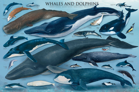Whales & Dolphins Poster - 24 x 36