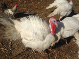 Pasture Raised Turkeys