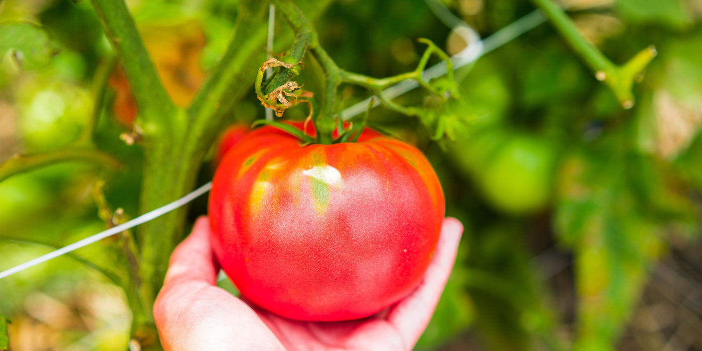 TomatoGAIN Plant Food & Fertilizers