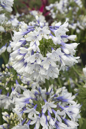 Southern Living Indigo Frost Agapanthus (2.5 Quart)