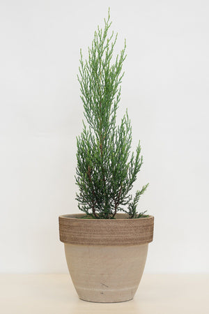 Burkii Eastern Red Cedar (1 Gallon)