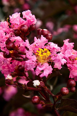 Southern Living Delta Jazz Crape Myrtle (2 Gallon)