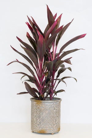Red Sister Cordyline (3 Gallon)