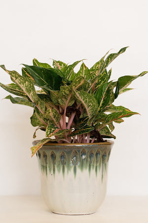 Chinese Evergreen, Aglaonema, Sparkling Sarah (Excludes: CA, AZ, AK, HI, PR)