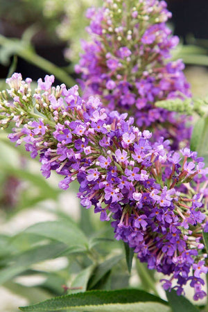 Southern Living Buddleia Ultra Violet (3 Gallon)