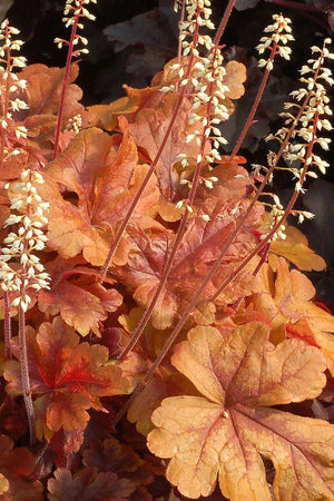 Southern Living Butter Rum Heucherella (2.5 Quart)