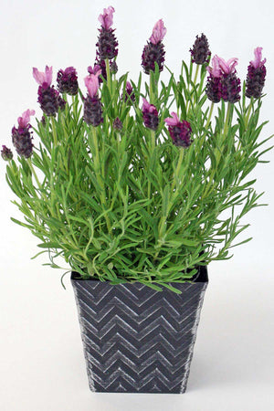 "Lavender, 4"" Silver Chevron Container for $ 45.95 at Root 98 Warehouse"
