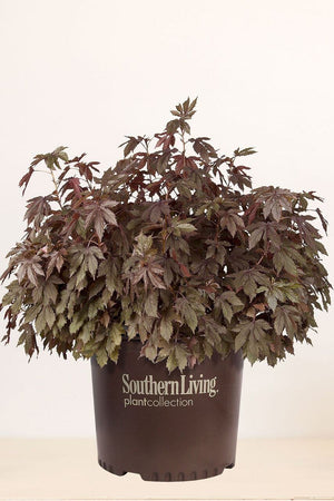 Southern Living Panama Red Hibiscus (2 Gallon)