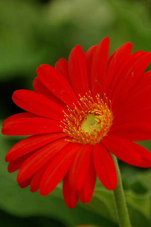 Southern Living Flame Drakensberg Daisy Hardy Gerbera (2 Gallon)