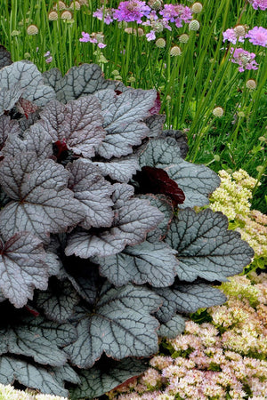 Southern Living Twilight Heucherella (2.5 Quart)
