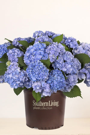 Southern Living Dear Dolores Hydrangea (2 Gallon)