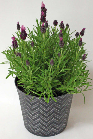 "Lavender, 6.5"" Chevron Container for $ 49.95 at Root 98 Warehouse"