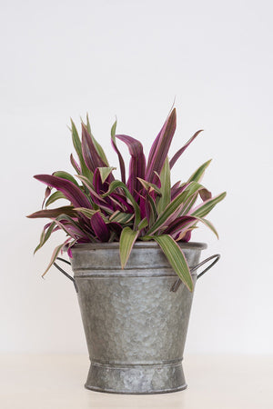 Variegated Tricolor Dwarf Oyster Plant, 3 Gallon (State Restrictions Apply)